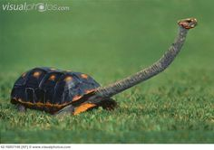 Smooth Snake -necked Turtle - the 'giraffe' equivalent in the turtle world?