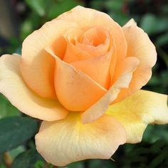 In honor of Thanksgiving quickly approaching, here is Thanks To Sue™️. Delicate pointed apricot buds rest upon a bright, glossy foliage. Rose Photos, Flower Photos, Orange Roses, Yellow Flowers, Red Rose Png, Heirloom Roses, Planting Roses, Garden Roses, Beautiful Rose Flowers