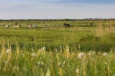 Natur, Salzwiesen und glückliche Pferde