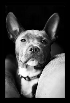 my pitbull