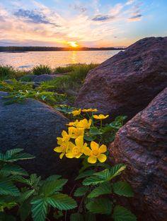 "Flowers of caluzhniki and granite stones - Spring sunset. The state nature reserve ""Kivipark"". The name comes from the Finnish word ""kivi"" - a stone. Leningrad Region, Vyborg Bay."