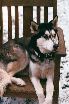 ♡ Huskies