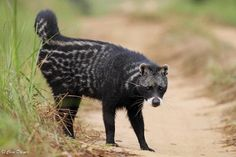 African civet (Civettictis civetta) scent-marking territory along a road in Odzala. Animals Of The World, Animals And Pets, Cute Animals, Unusual Animals, Exotic Animals, Strange Animals, Melanistic Animals, Melanism, Black Animals