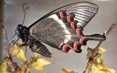 explicacio papallones