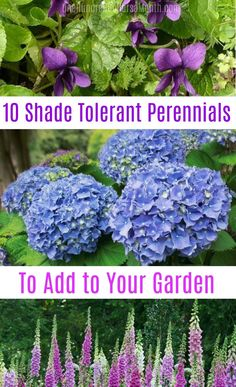 Awhile back, I did a post on shade tolerant flowers.  Then, I thought to myself, what is better than shade tolerant flowers?  Shade tolerant perennials, that's what.  You only have to plant them once, but still, you get year after year of color.  Perfecto. First, remember that in most cases, shade tolerant doesn't mean fully …