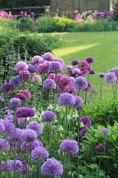 alliums, with heads about the size of tennis balls, come in a vibrant deep purple, (Allium  hollandicum 'Purple Sensation'), or a softer mauvy shade, (Allium hollandicum aflatunense).  both are spectacular in bud, full flower, in the seedhead stage, and long lasting in the vase too.  what is more they seem to naturalise and bulk up well.