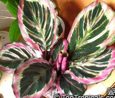 Peacock Plant, Pink Plant, Garden Plants, Indoor Plants, House Plants, Exotic Plants, Tropical Plants, Shadow Plants, Calathea Plant