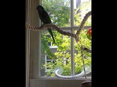 talking quaker parrot