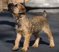 Border Terrier/Cairn Terrier Mix. Scruffy dogs, Border