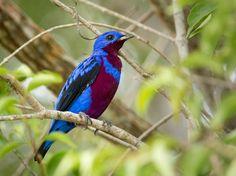Crejóa é ave ameaçada de extinção e ocorre no Sul da Bahia (Foto: Jaílson Souza)