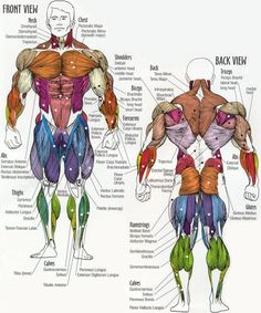 Muscle group chart with a list of what exercise you need to do to work each group.