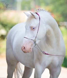 White horse with blue eyes