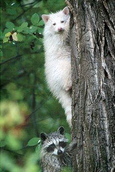 Albino raccoon's are very rare!!!