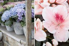 Hortênsias são flores para o inverno. Conheça a rosa do Japão. Azaleias se adequam bem ao clima frio. Como cultivar plantas nas estações frias.