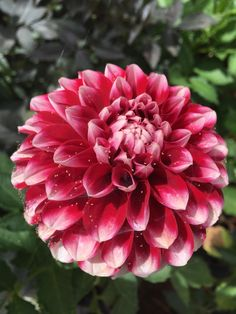 A picture of a dahlia that I took from work. #gardening #garden #gardens #DIY #landscaping #home #horticulture #flowers #gardenchat #roses #nature