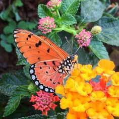 """#Beautiful #Butterfly in my #Lantana #MyGarden #Flower #superb_flowers #kings_flora #quintaflower #macroworld_tr #instagardenlovers #ptk_flowers #my_daily_flower #florecitas_mx #ig_flowers #flowerstalking #lovelynatureshots #loves_flowers_ #bd_gardens #bd_flower #gr8flowers #lovely_flowers_ #fabulous_shots #igscflowers #Iphone6S #iphonegraphy #iphone6sphotography by pushpabisht07 Follow """"DIY iPhone 6/ 6S Cases/ Covers/ Sleeves"""" board on @cutephonecases http://ift.tt/1OCqEuZ to see more ways…"""