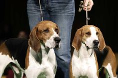 Xcetera, left, and Meg, treeing Walker coonhounds, are one of two new breeds in this year's show.