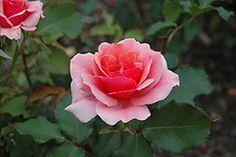 Duet Rose