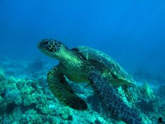 Hawaiian Sea Turtle Fly By   Hawaii Picture of the Day
