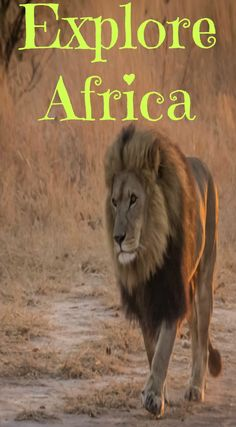 Explore the wild side of Africa! Lion Conservation with Antelope Park in Zimbabwe. A trip to Africa would not be complete until you have walked with the lions at Antelope Park in Zimbabwe. See what A.L.E.R.T. is doing to help protect the wild animals at http://www.divergenttravelers.com/antelope-park-lion-conservation-alert/ Divergent Travelers Adventure Travel Blog