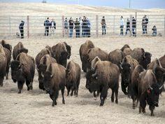 200 bison escape from Iowa farm, silly bison.