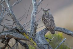 Great-horned Owl - A Great-horned owl waking up from its sleep getting ready to start hunting for its dinner right after the last glint of daylight.