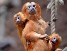 Two little Golden Lion Tamarin hang on their father at the zoo in Duisburg, Germany, Thursday, May The small twins were born only six weeks ago. Primates, Baby Animals, Funny Animals, Cute Animals, Animal Babies, Wild Animals, Golden Lion Tamarin, Monkey See Monkey Do, Animal Tracks