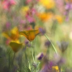 Quelques fleurs (chriscler) Tags: flowers abstract macro nature yellow fleurs jaune painting couleurs peinture abstrait eschscholtzias abigfave chriscler