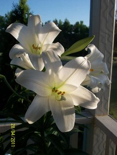 Easter Lillies my fav flower!