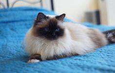 Quentin, Birman cat