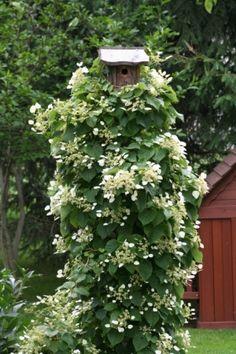 climbing hydrangea for a bird house pole. Lovely! by lynette