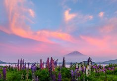 Sunset glow and Lupine by Takashi on 500px The fog has cleared just before this sunset glow. Mt Fuji was surrounded fog. The cloud in the sky became in pink glow above Lupine. It was beautiful view!!