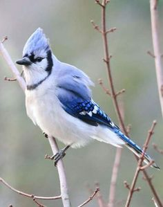 geai bleu symbole et signification de cet animal totem o magic o pinterest geai bleu. Black Bedroom Furniture Sets. Home Design Ideas
