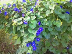 Morningglories on my back fence
