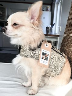• Bailey in his new harness (from Australia) that he won from an Instagram contest.. #chihuahua #longhaired #dog #harness