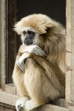 Gibbon monkey contemplating life...   ...........click here to find out more     http://googydog.com
