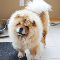 Chow Chows often have a distinctive mane - giving them the appearance of a fluffy lion!