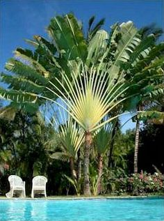 Stunning eye catcher, the Traveler Palm. Called that because you can find a water reservoir where the frond connect to the trunk.