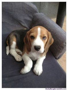 """Types of Beagle Dog - The beagle is a breed of hunting dog that has been a popular human companion for centuries. The dog is one of the most popular breeds in the United States, and has been famously recreated as Snoopy in the """"Peanuts"""" comic strip. In the past, there was another breed of beagle called the pocket beagle. #beagle #typeofbeagle #dog #Dogbeagle"""