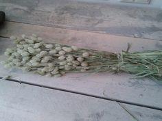 Nieuw binnen phalaris bossen( kanarie gras)