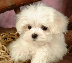maltese | Maltese terrier Dog puppy pictures and wallpapers, New Dog Funny Pet ...