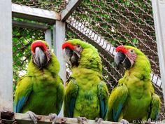 Friends and birds (Ara ambiguus)
