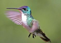 The Andean Emerald (Amazilia franciae) is a species of hummingbird found at forest edge, woodland, gardens and scrub in the Andes of Colombia, Ecuador and northern Peru. It is generally fairly common. It is green above and white below. Some subspecies have a blue crown.