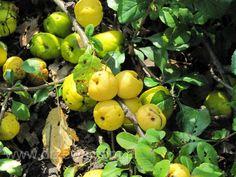 Drzewa owocowe - pora dojrzewania - Szkółki Konieczko - Szkółki Konieczko - Drzewa Krzewy Owocowe Ozdobne oraz Leśne