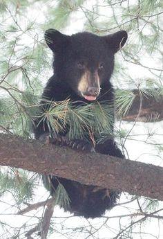 adirondack black bear photos | ... , Sports, Jobs, Saranac Lake region — Adirondack Daily Enterprise