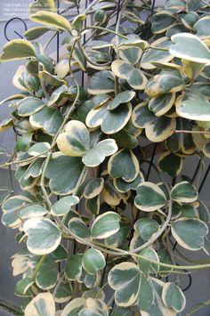 Photo of Wax Hearts, Sweetheart Hoya, Valentine Hoya, Wax Plant, Porcelain Flower 'Varieg