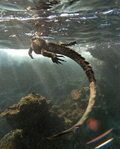 """rhamphotheca: """" Marine Iguana (Amblyrhynchus cristatus) fights the waves, in the Galapagos Islands, to search for tasty algae """" Animals And Pets, Cute Animals, Baby Animals, Marine Iguana, Big Iguana, Grazing Animals, Galapagos Islands, Creature Feature, Reptiles And Amphibians"""
