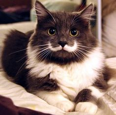 Meet Hamilton – a dashing looking kitty with a stache Read more at http://lovemeow.com/2013/06/mustache-cat-couldnt-find-home-until-someone-saw-something/#tQwp5S0U0mvqLhUW.99
