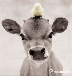 Bubba and Hudson (Jersey Calf and Baby Chicken) - Hudson perches on Bubba's head for a birds eye view.