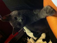 My Russian blue: Borys. Literally the sweetest cat. Love this breed